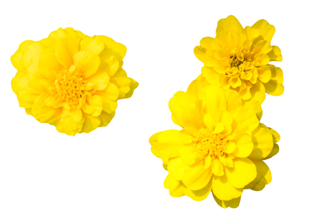 patula: French marigolds Tagetes patula, yellow flower isolated on white