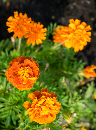 patula: French marigolds Tagetes patula, yellow flower against green blured background Stock Photo