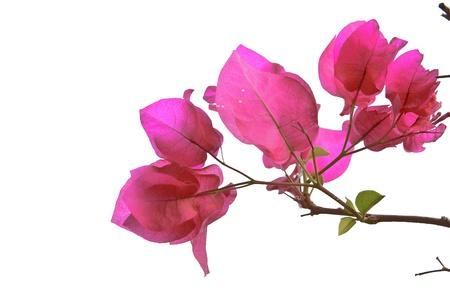 color bougainvillea: the Bougainvillaea