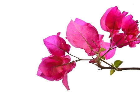the Bougainvillaea