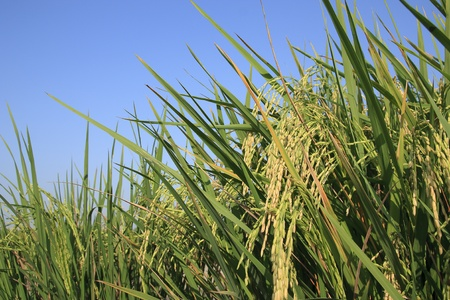 ear of rice thailand photo