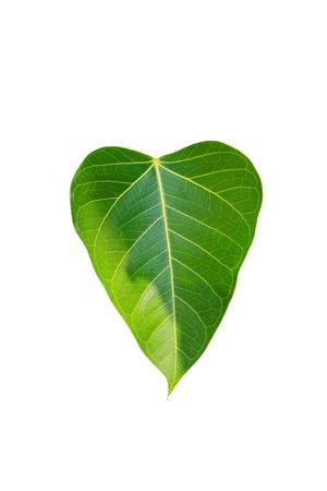 Bodhi tree. photo