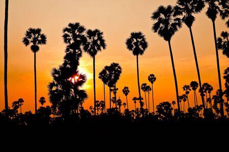 Sugar palm garden evening. photo