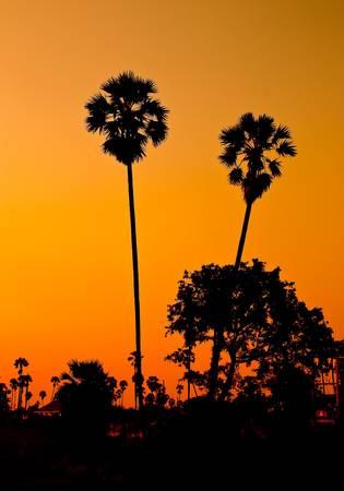 palm garden: Sugar palm garden evening. Stock Photo