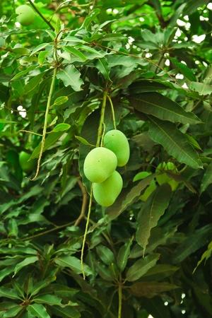 mango in the garden thai photo