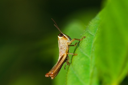 Grasshopper Stock Photo - 10043724