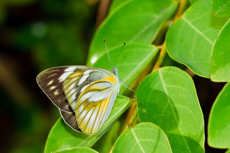 broad leaf: Butterfly ,Thailand Stock Photo