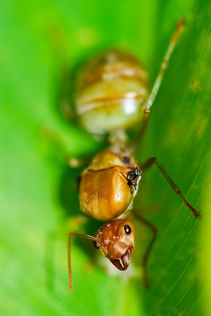 leaf cutter ant: Red Ants Stock Photo
