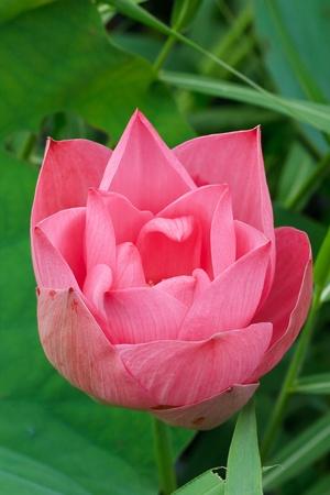 pink lotus flower blooming at thailand