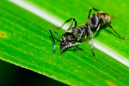 Black ant on leaf Stock Photo - 10044840