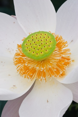 pink lotus flower blooming at thailand photo