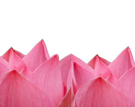 pink lotus flower blooming on white  background Фото со стока