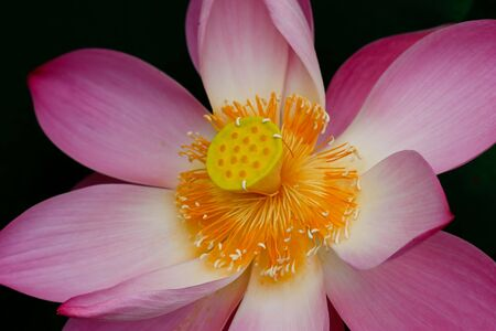 pink lotus flower blooming at thailand Stock Photo - 10179522