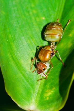 pismire: Red Ants Stock Photo