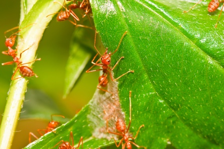 Red ant  photo