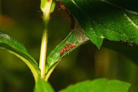 bark rain tree: red ant Stock Photo