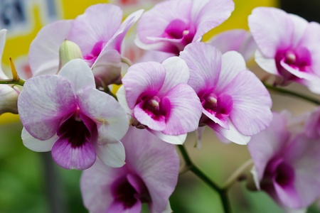 Thai orchid photo