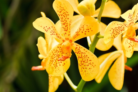 yellow orchid: Thai orchid
