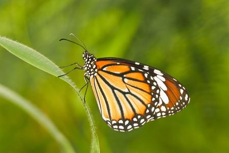 Papillon thailande Banque d'images - 10326243