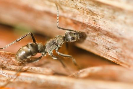 Black ant Stock Photo - 10326247