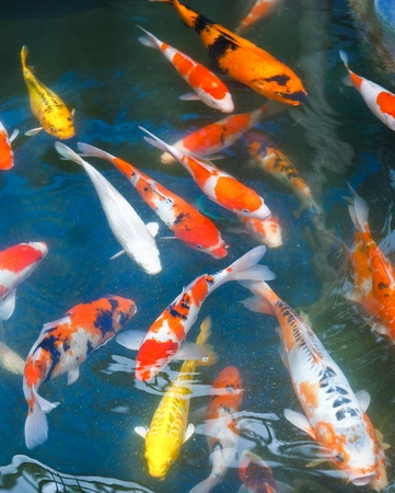 colorful fishes: Koi carps swimming in the Pond Stock Photo