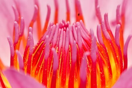 pink lotus in thailand photo