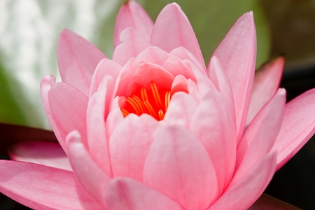 Lotus macro shooting. Stock Photo - 10461297