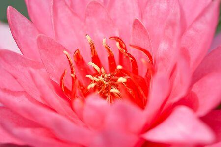 Lotus macro shooting. photo
