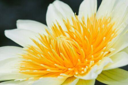 Lotus macro shooting. Stock Photo - 10449469