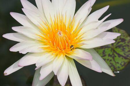 Lotus macro shooting. Stock Photo - 10460706