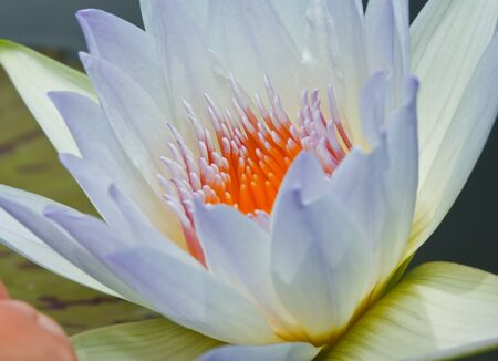 Lotus macro shooting. Stock Photo - 10460703