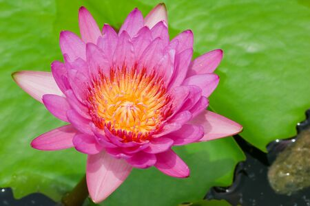 pink lotus in thailand Stock Photo - 10460708
