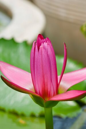 pink lotus in thailand Stock Photo - 10460705