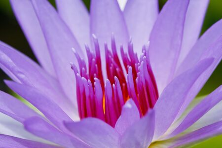 pink lotus in thailand Stock Photo - 10449467