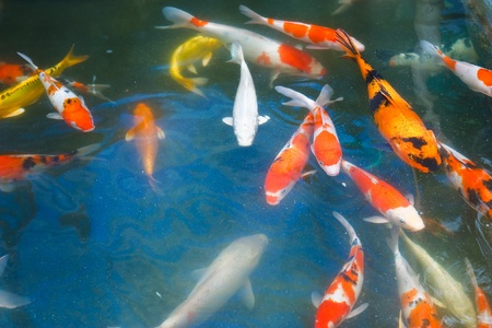 fish pond: Koi carps swimming in the Pond Stock Photo