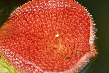 lotus leaf  Stock Photo - 10494854