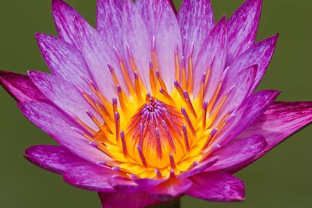 pink lotus in thailand Stock Photo - 10494851