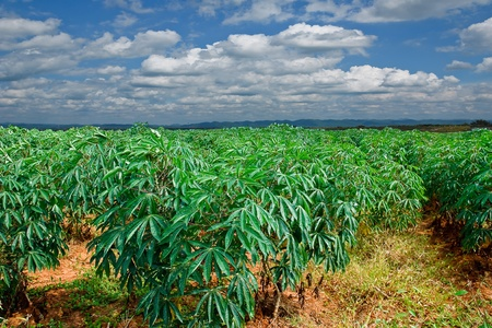 Cassava field and blue sky