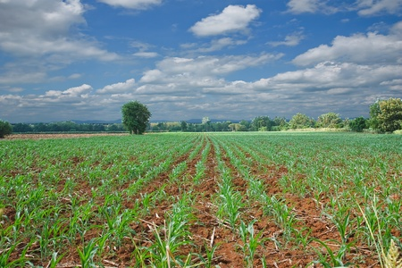 Farm corn in thailand Stock Photo - 10494862