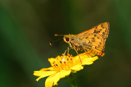 broad leaf: butterfly in thailand