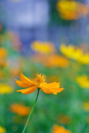 cosmos flowers: Yellow Cosmos flower