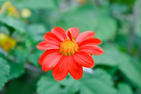 Marigold flowers are red. photo