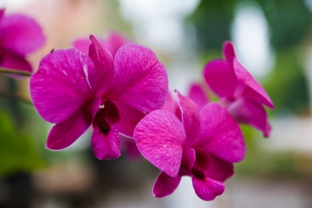 orchid branch: Thai orchid