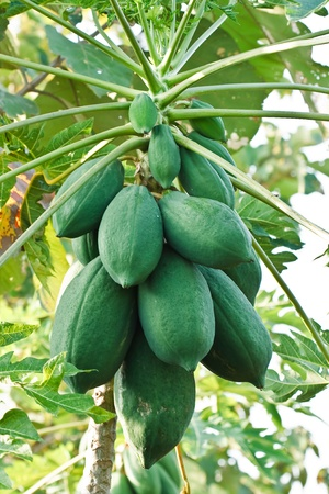 Bunch of papayas hanging from the tree Archivio Fotografico