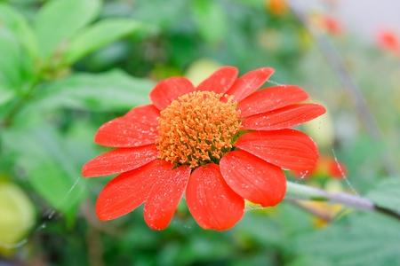 Red gerbera daisy  photo