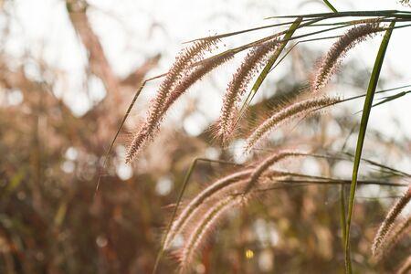 cane plumes: Prairie evening.