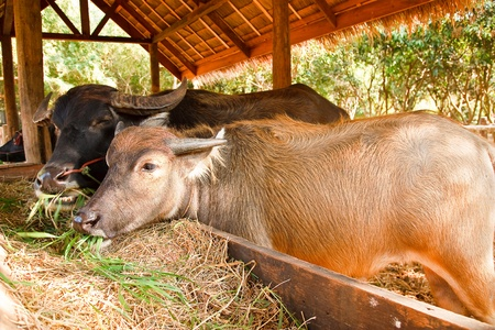 Thai buffaloes. Stock Photo