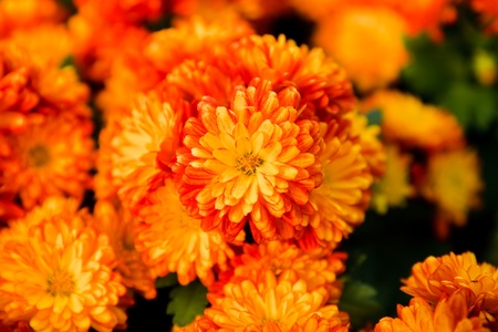 Orange pot marigold photo