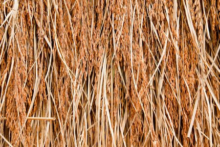 Close up of rice seed on rice plant photo