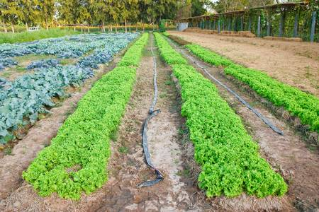 field of fresh and tasty saladlettuce plantation photo